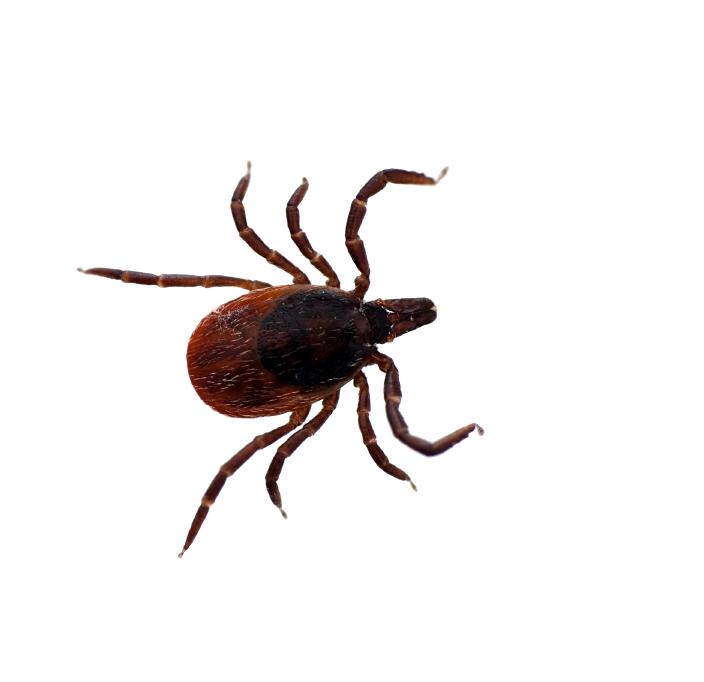 Black legged deer tick isolated - Ixodes scapularis