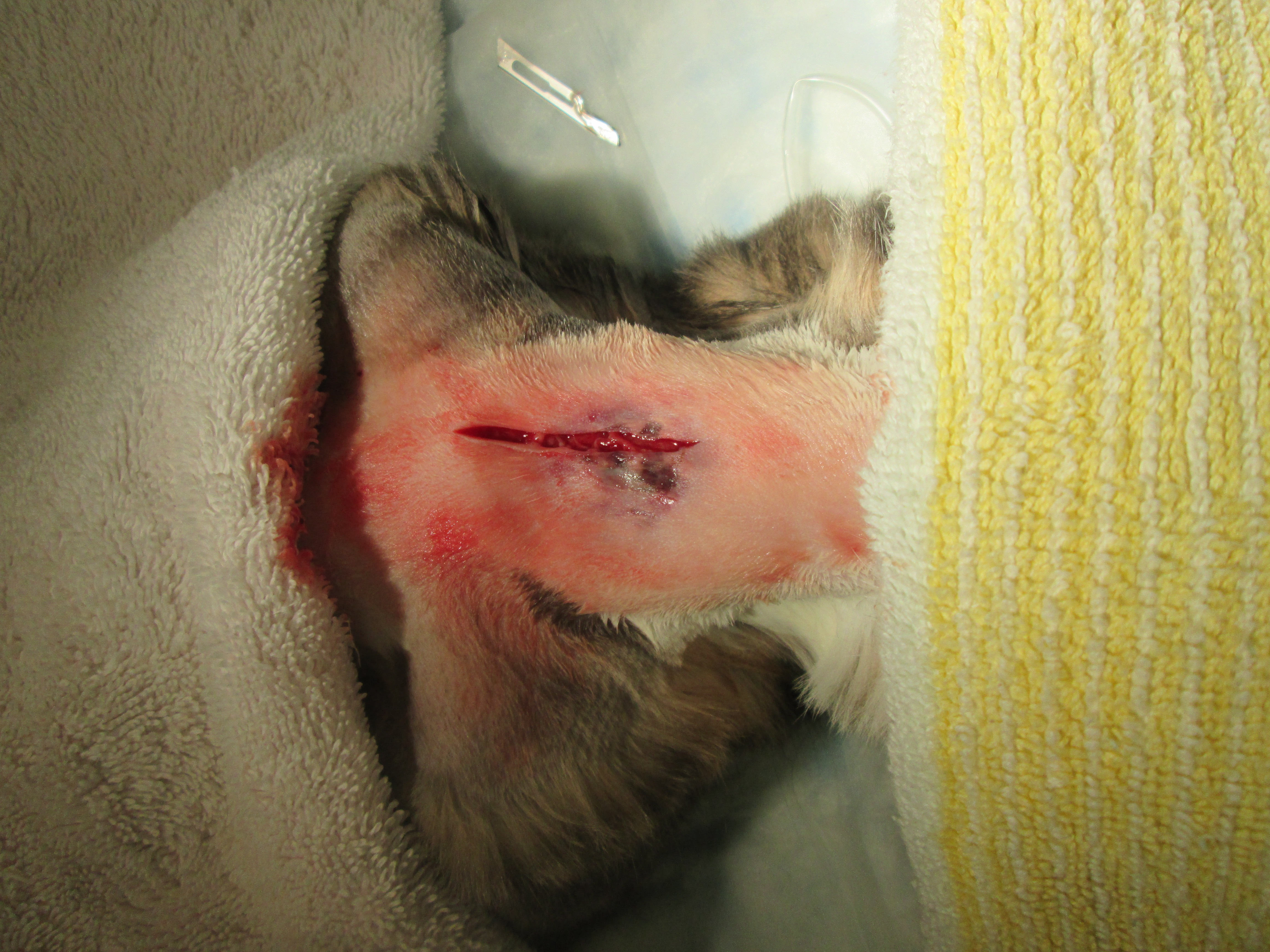 The abscess after all the discharge was drained.