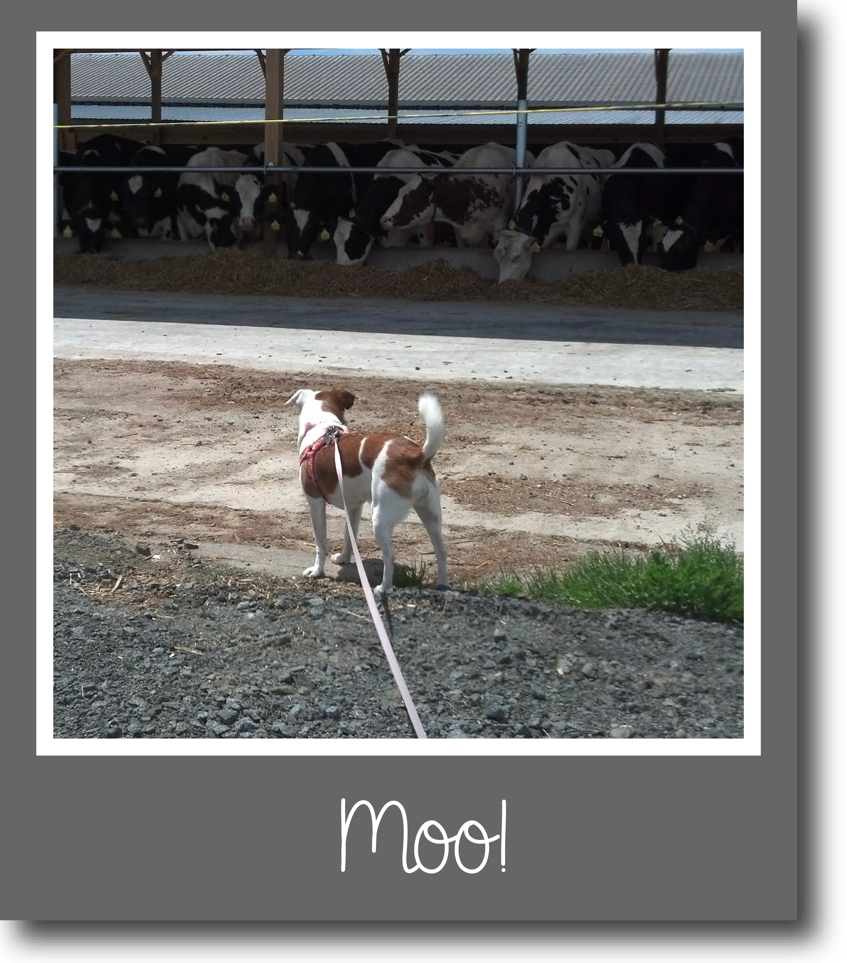 Tilly's Travels - Moo!