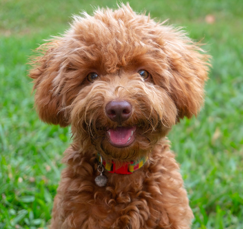 Portrait Image Cute Puppy Toy Poodle