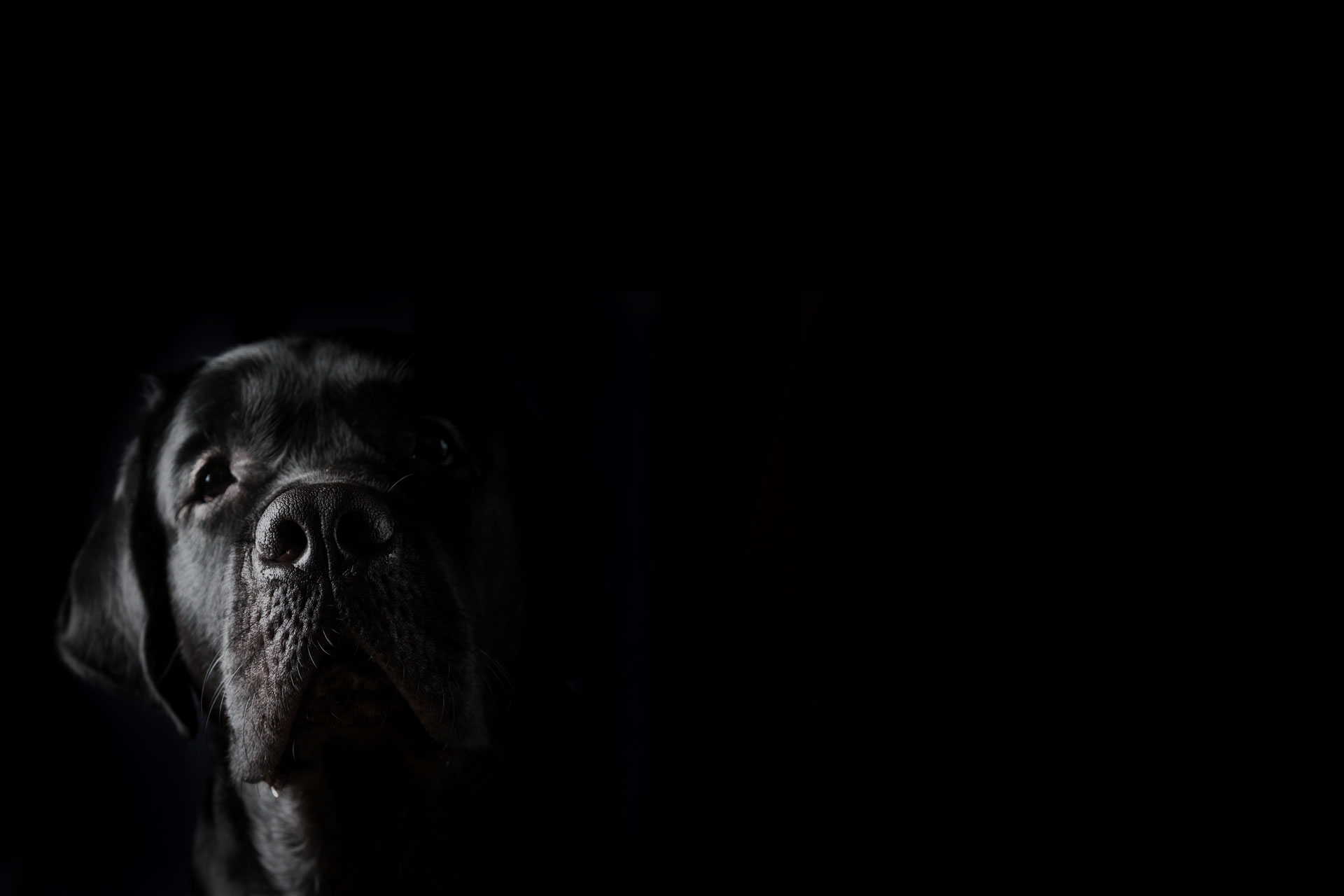 Closeup portrait of black Labrador dog on black background