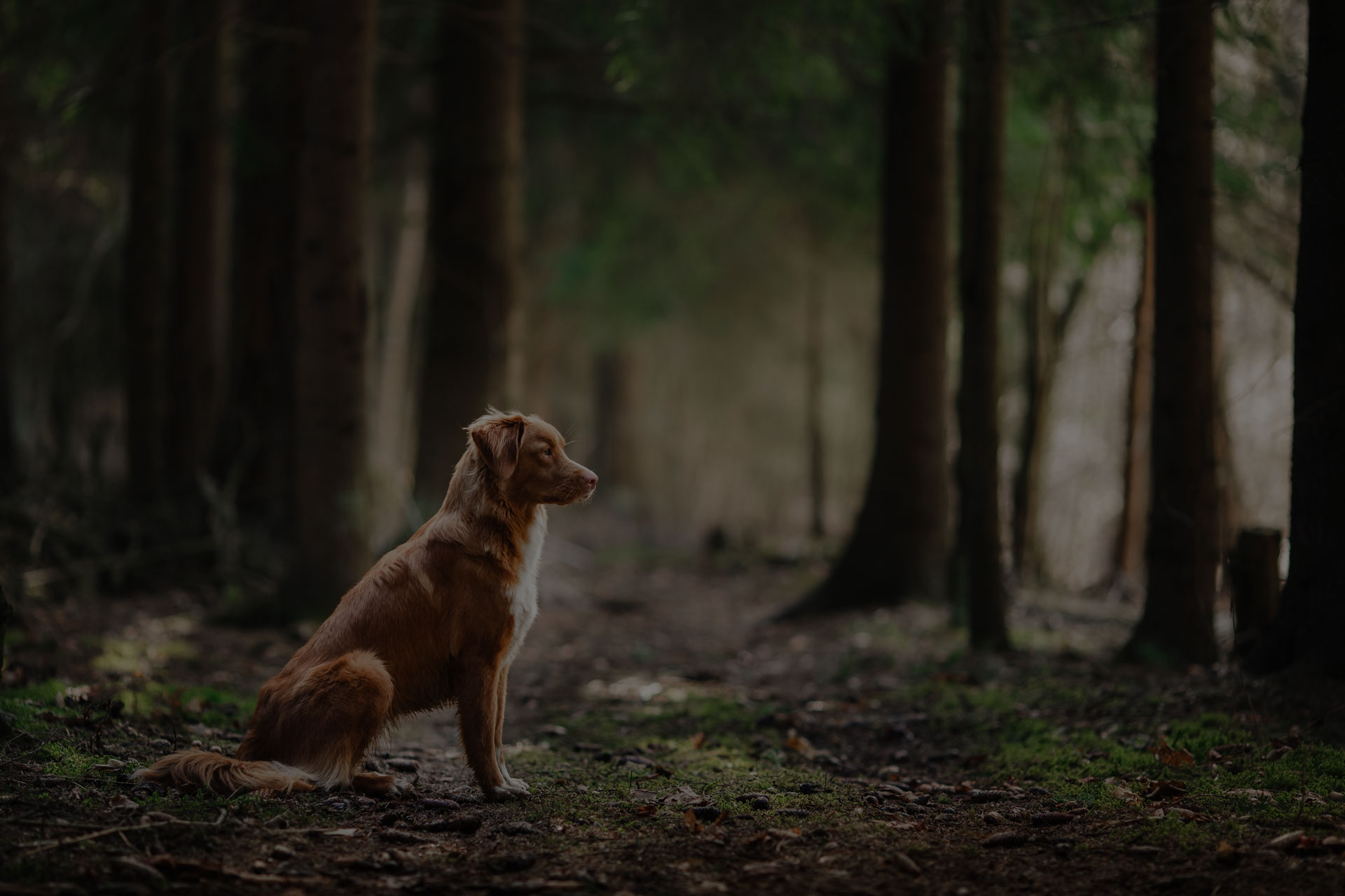 Dog Nova Scotia Duck Tolling Retriever walking, playing, running, jumping in the forest spring - Image