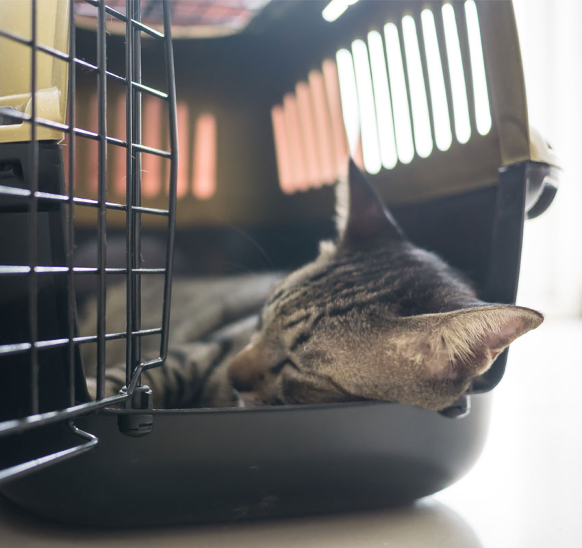 Siamese Tabby Cat Sleep Travel Box