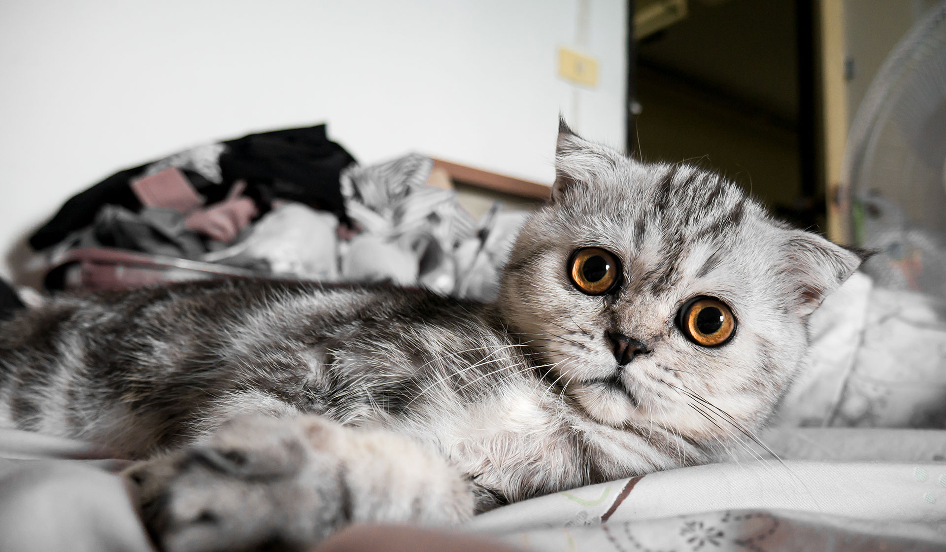 Scottish Fold Cat Lying On Bed