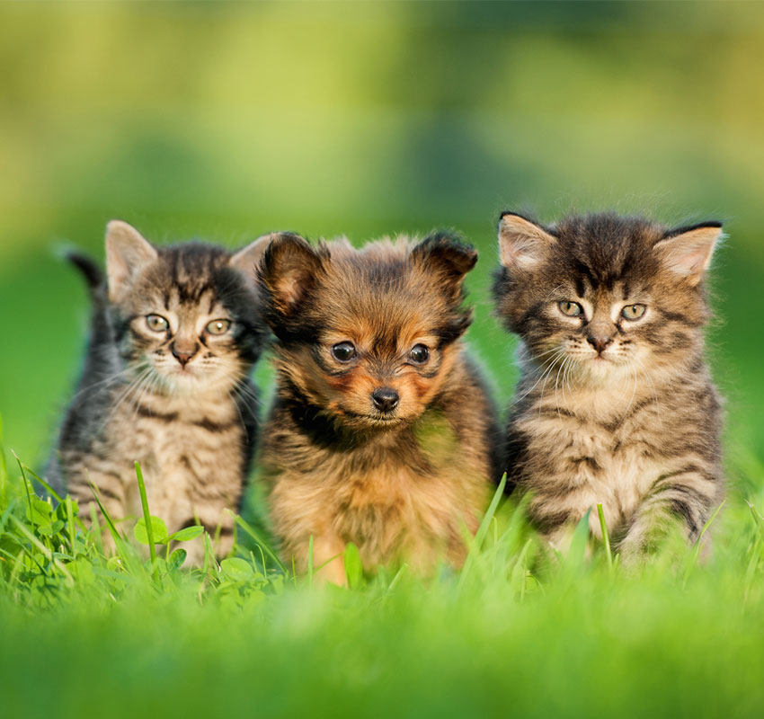 Toy Terrier Puppy Between Kittens