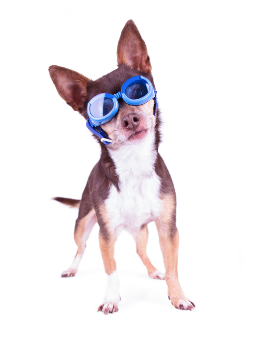Cute Chihuahua Blue Goggles On Studio